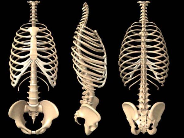 costillas y vertebras