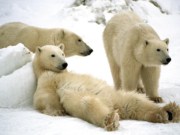 Polar Bear (Ursus maritimus) trio loafing, Churchill, Manitoba, Canada